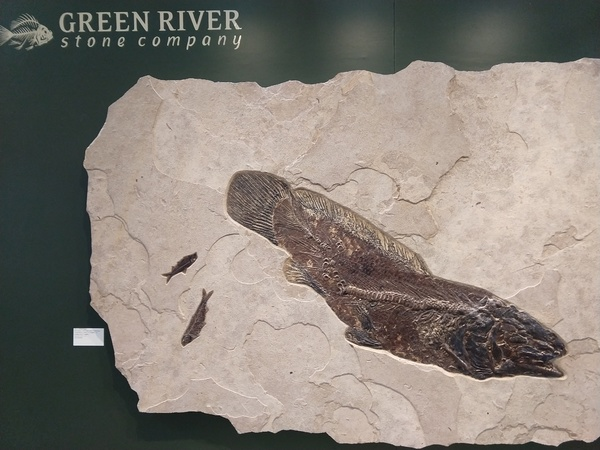 Amia Fisch Green River Formation