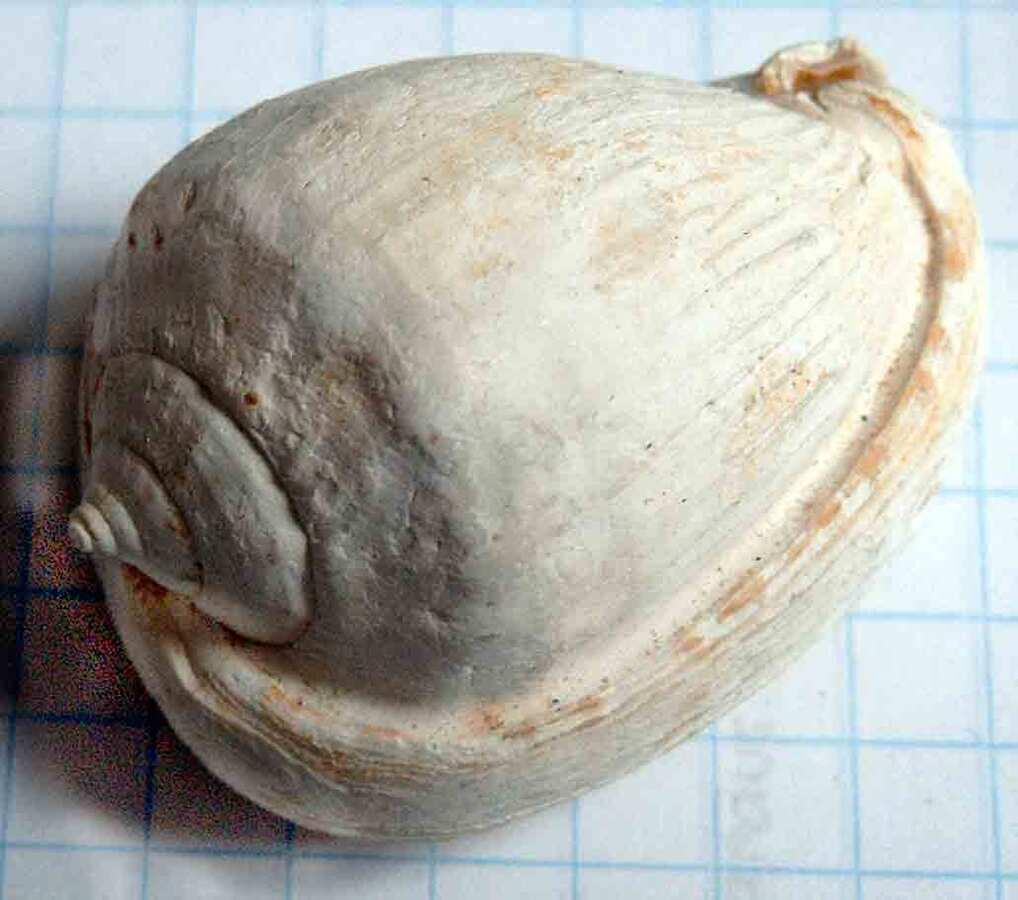 Mineralienatlas Lexikon - Cassis cypraea (english Version)