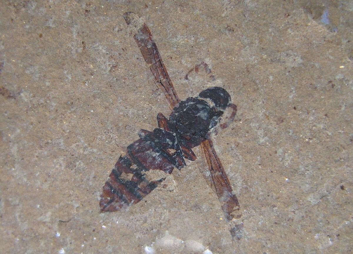 Wespenartiges Insekt